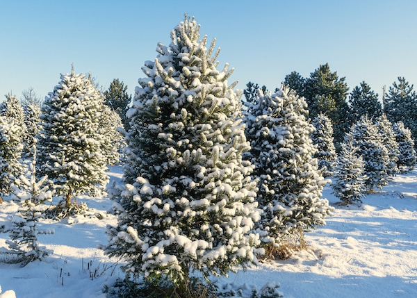 Snow covered trees at a Christmas tree farm.
